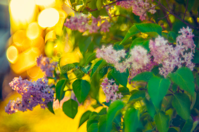 Lilac flowers stock photography