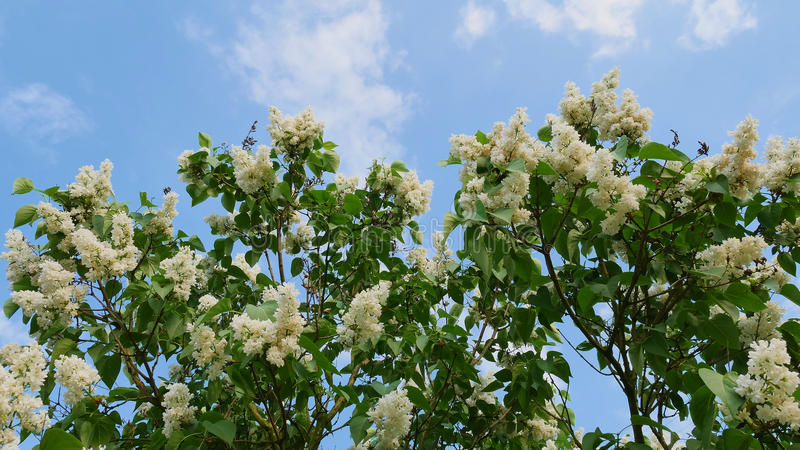 Lilac flowers on a tree on a background of blue sky in late spring. This is a popular Polish garden flower. stock image