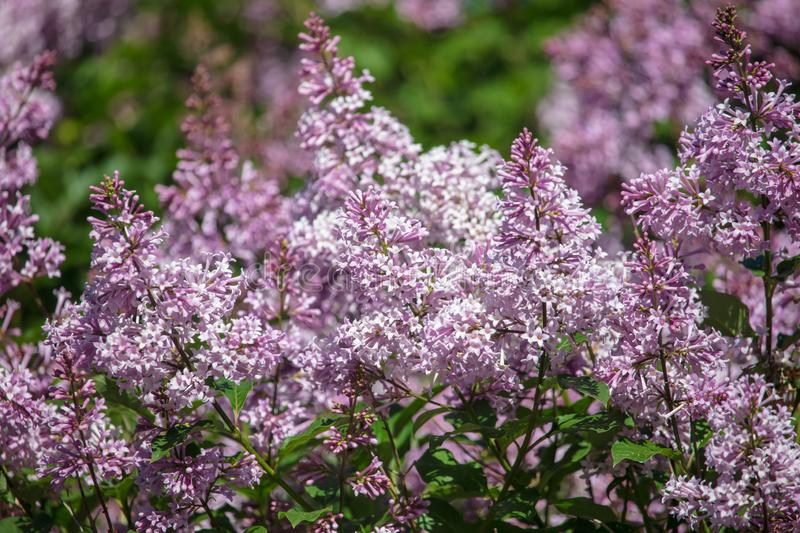Lilac flowers on a tree in the park stock photography