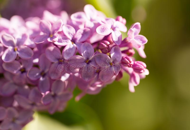 Lilac flowers on a tree stock images