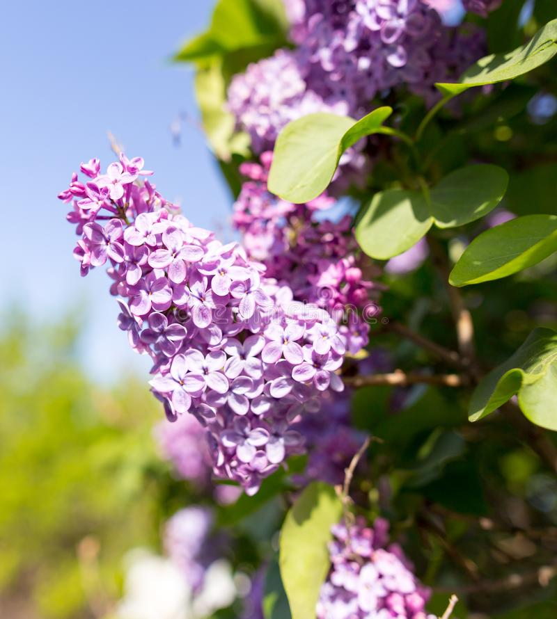 Lilac flowers on a tree in spring royalty free stock photos