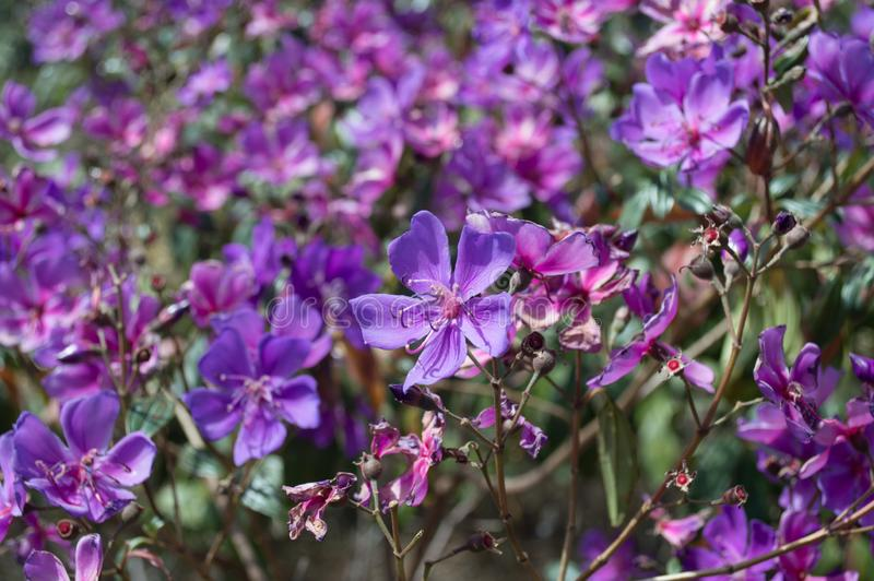 Lilac flowers in unknown location. Lilac flowers in an unknown location under a sunny day royalty free stock photos