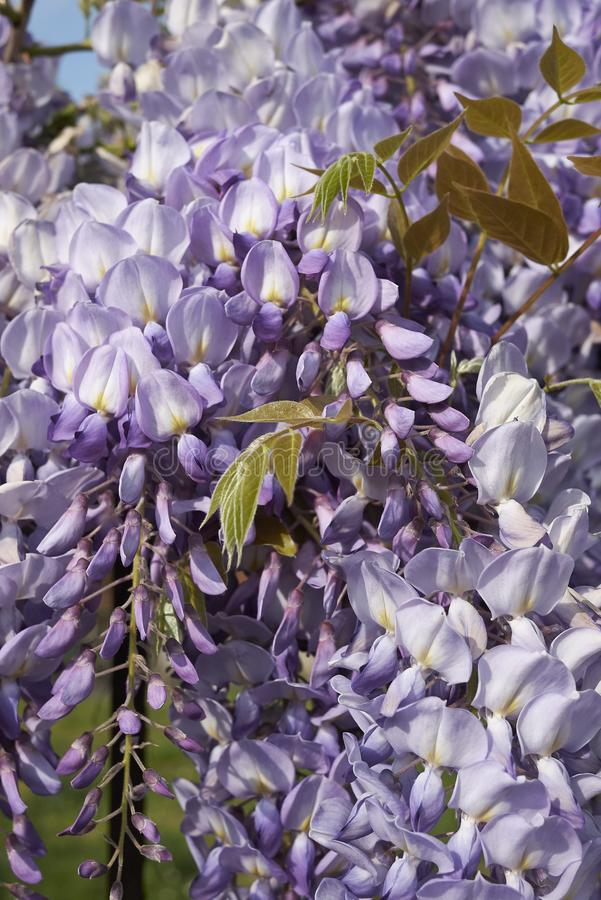 Wisteria sinensis in bloom. Lilac flowers of Wisteria sinensis climber plant stock photos