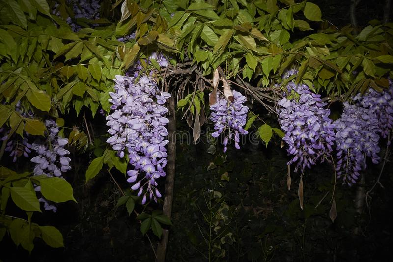 Wisteria sinensis in bloom. Lilac flowers of Wisteria sinensis climber plant stock photo