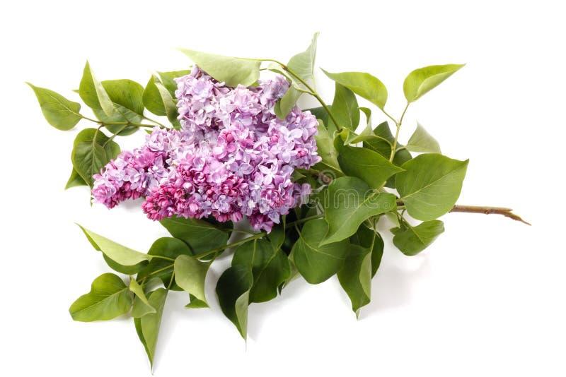Lilac geïsoleerdeg bloem stock afbeelding
