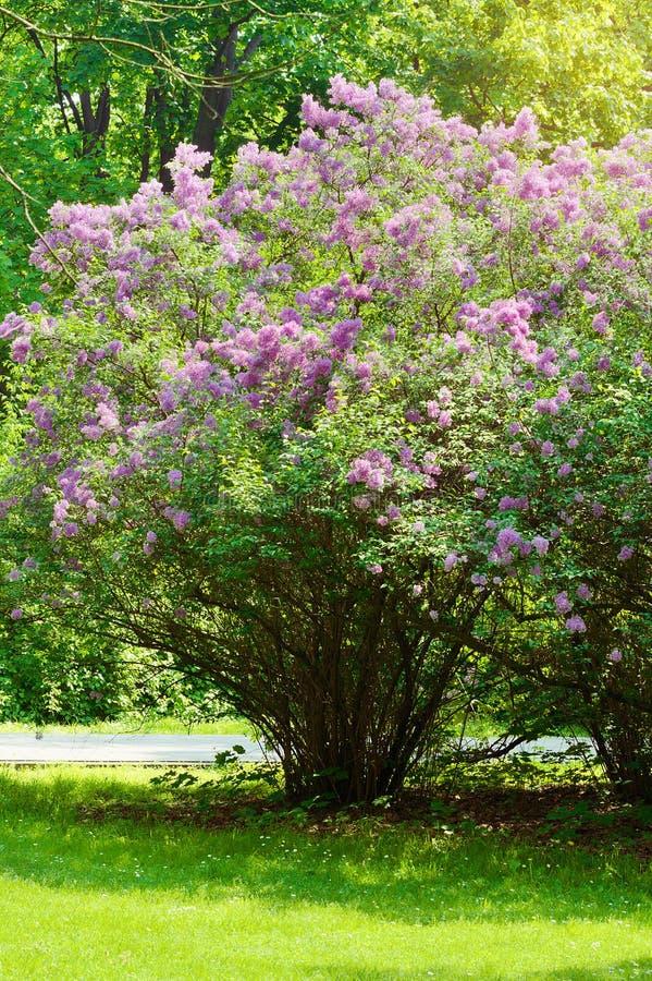 Lilac of gemeenschappelijke sering, Syringa vulgaris in bloesem Purpere bloemen die op lilac bloeiende struik in park groeien royalty-vrije stock fotografie