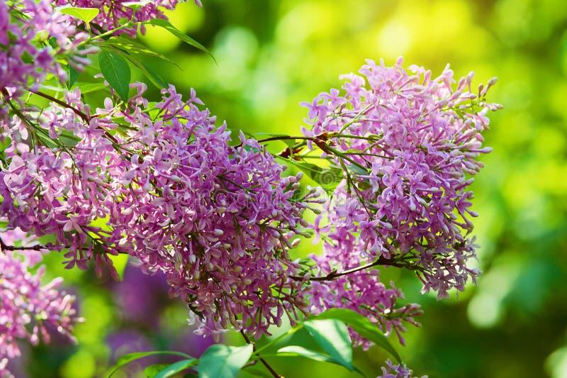Lilac of gemeenschappelijke sering, Syringa vulgaris in bloesem Tak met purpere bloemen die op lilac bloeiende struik in park gro royalty-vrije stock fotografie