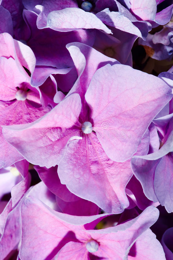Download Lilac Geranium Stock Photography - Image: 21072472
