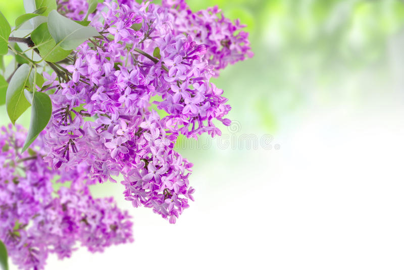 Lilac on the green. Background royalty free stock image