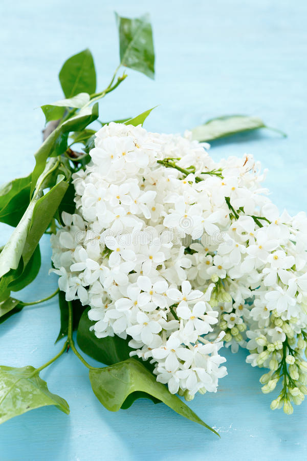 Lilac with green leaf. Flowers royalty free stock images