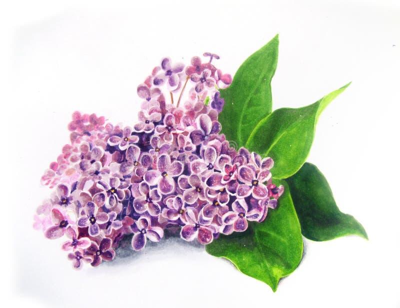 Lilac hand drawn illustration stock photography