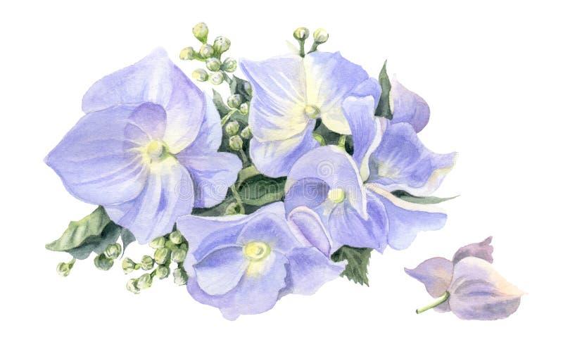 Lilac hydrangea hortensia's Waterverfbloemen op een witte achtergrond worden geïsoleerd die vector illustratie