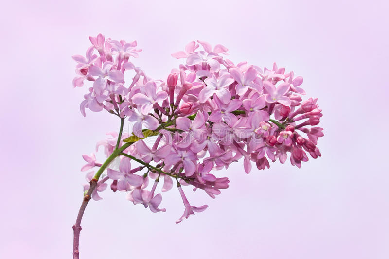 Lilac Inflorescence Royalty Free Stock Photos