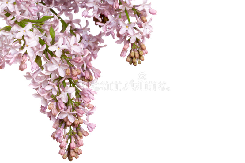 Lilac inflorescence royalty free stock images