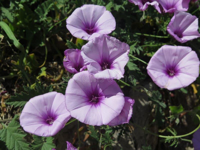 Lilac klokken stock afbeeldingen
