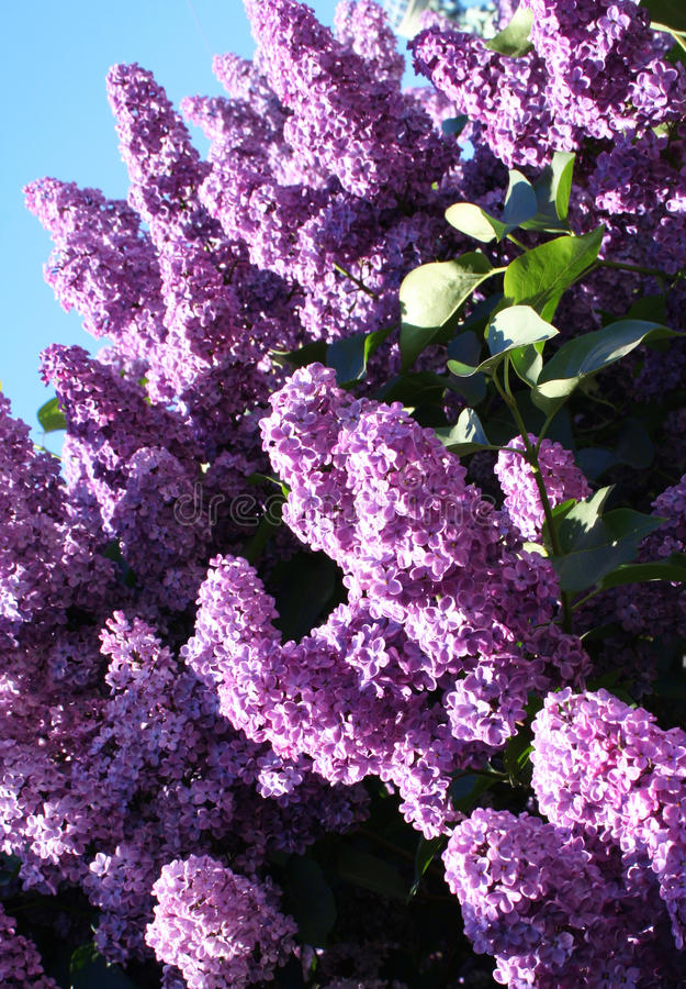 Download Lilac With Leaves On A Blue Sky Background Stock Photo - Image: 10868856
