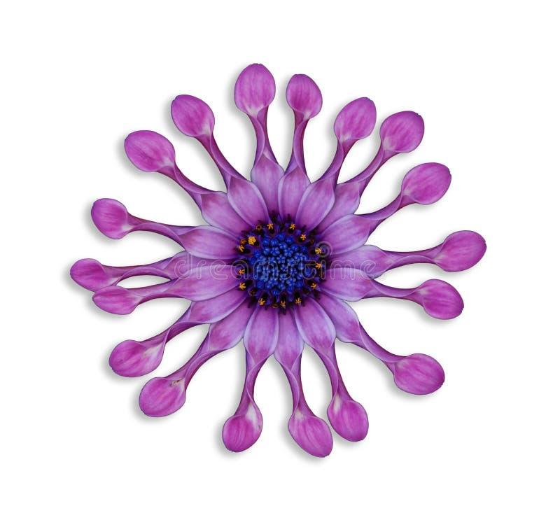 Lilac Lepel Daisy van de discant stock afbeeldingen