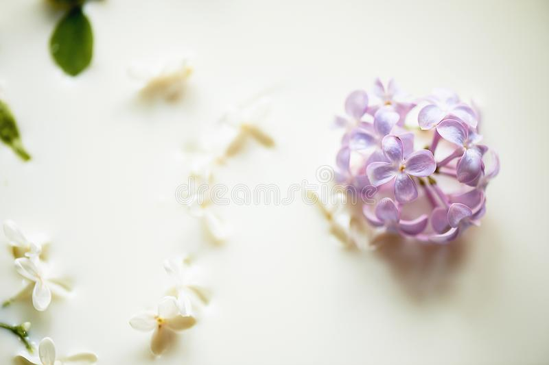 Lilac in milk.Tenderness and airiness. Closely. Lilac in milk. Tenderness and airiness. Closely stock images