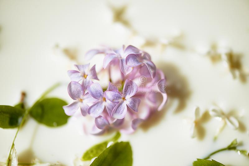 Lilac in milk.Tenderness and airiness. Closely. Lilac in milk. Tenderness and airiness. Closely stock photos
