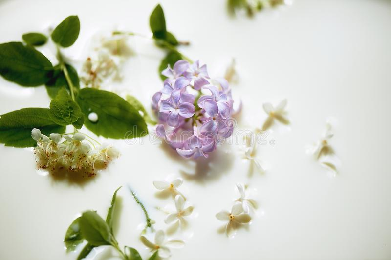 Lilac in milk.Tenderness and airiness. Closely. Lilac in milk. Tenderness and airiness. Closely royalty free stock images