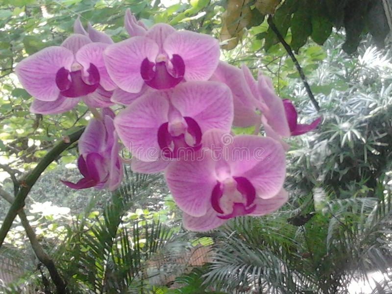 Lilac orchid royalty free stock images