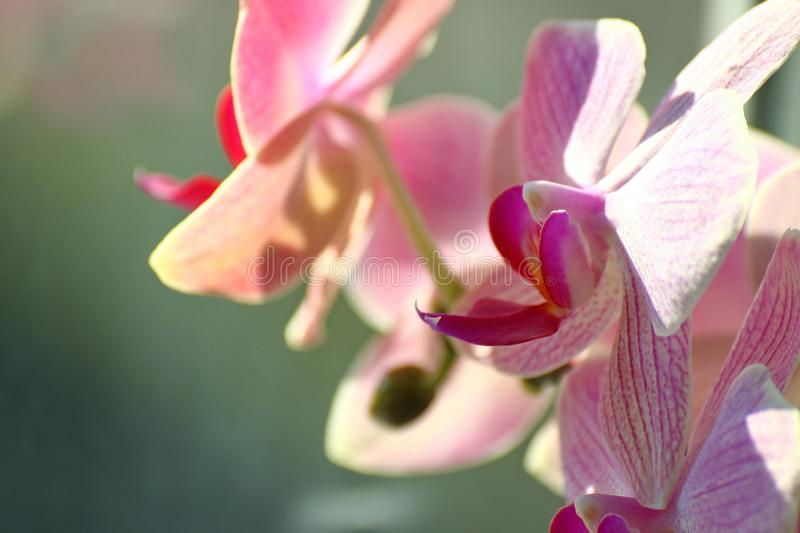Lilac Orchid on Sunny day on a green background. home plants in a vase on the window. care about the room colors of the house. stock photos