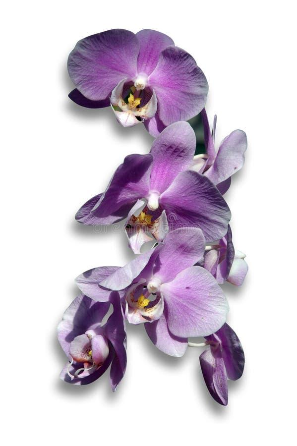 Lilac orchidee royalty-vrije stock afbeeldingen