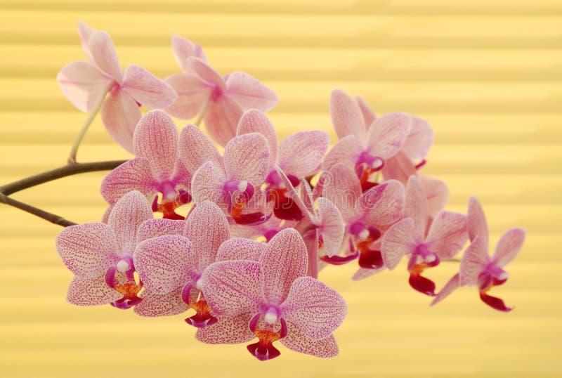 Lilac orchidee dichtbij gele jaloezie stock afbeeldingen