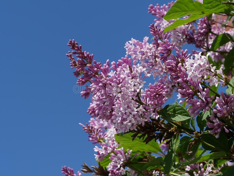 Lilac ordinary flowers. Against the blue sky stock image