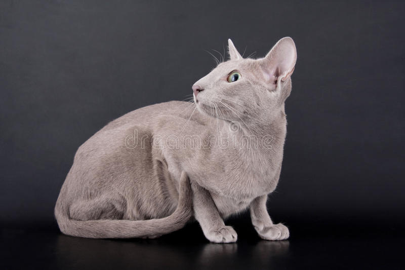 Lilac Oriental Cat. On black background stock images
