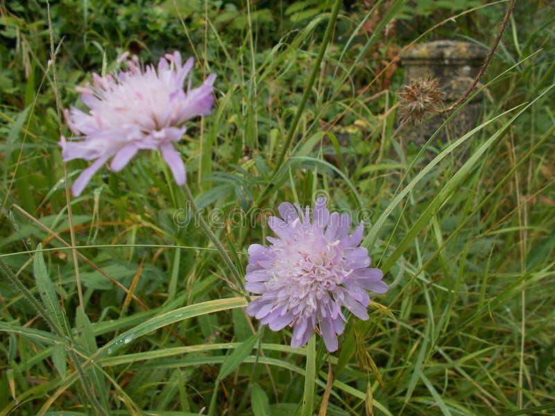 Lilac Paardebloembloem stock afbeeldingen