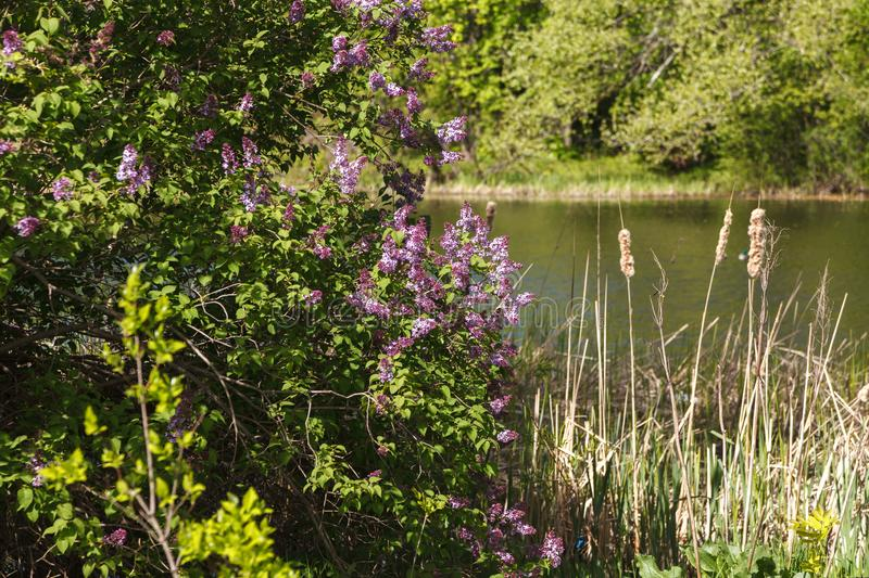Lilac on the pond shore. Beautiful landscape with lake, wild nature, blossom trees for posters, prints, covers, design. Lilac on the lake shore. Summer public stock photos