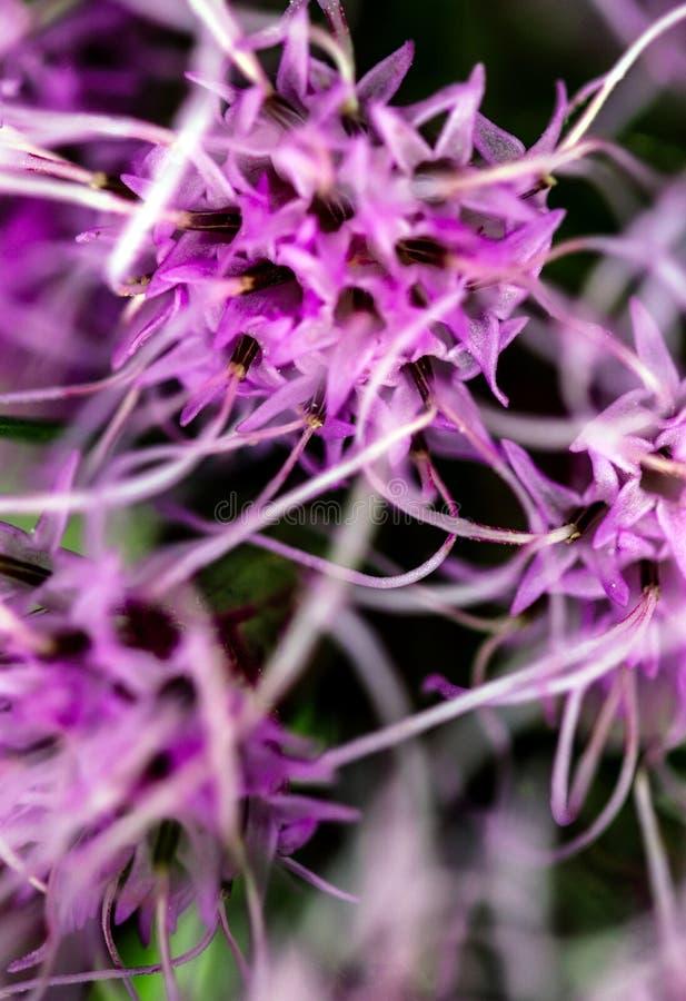Lilac Prairie blazing star bloemen, ook wel Liatris pycnostachya genoemd, in macro closeup Mooie bosbloei royalty-vrije stock foto's