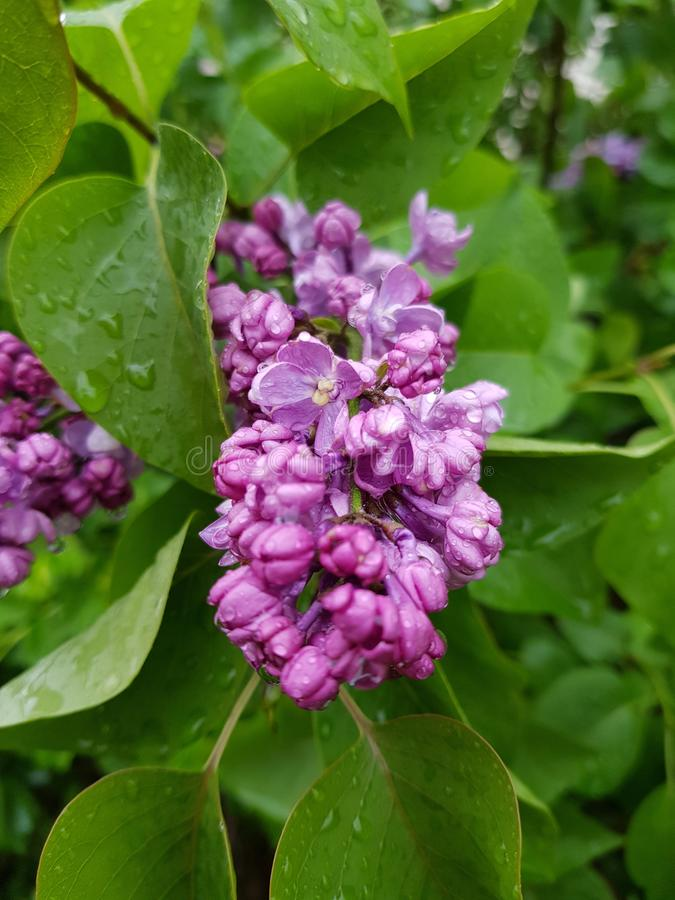 Lilac purper bloemen de bloeituin bloemen van de achtergrondkleurenbloesem het tuinieren landbouwbedrijf royalty-vrije stock afbeeldingen