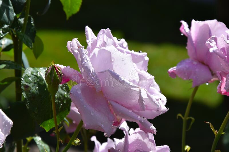 Lilac Rose Blossoms and Opening Rose Buds with Water Drops on the Petals. Beautiful Garden stock photo