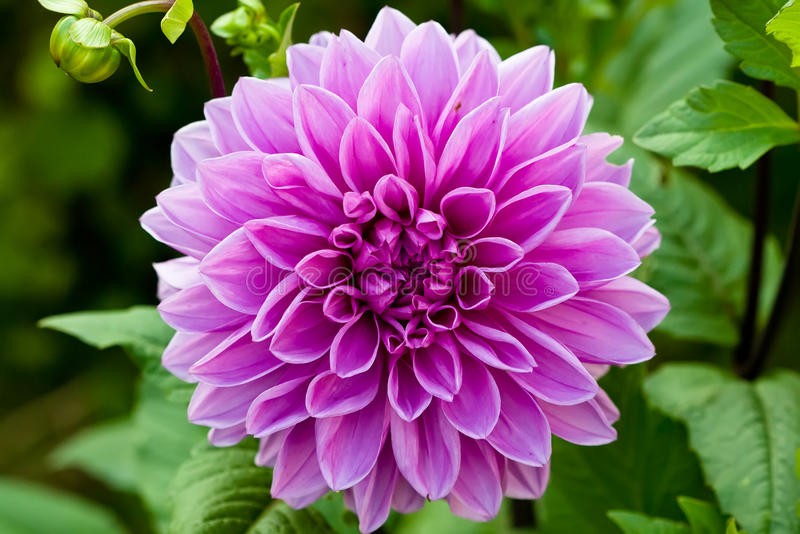 Lilac Round Flower Of Dahlia On Green Background Royalty Free Stock Photos