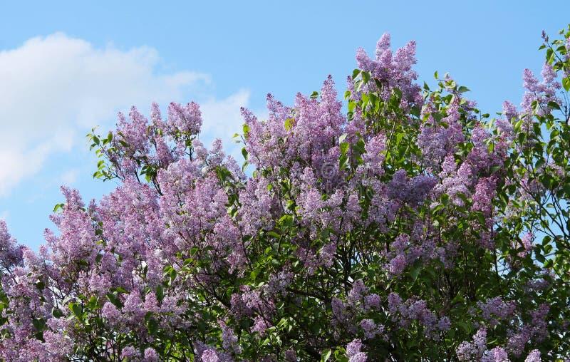 Lilac roxo foto de stock royalty free