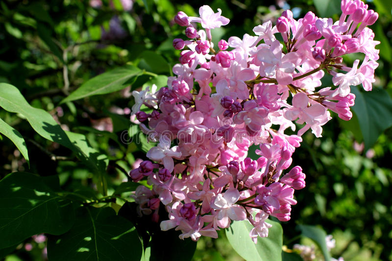 Lilac roxo fotos de stock