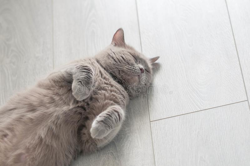Lilac scottish straight cat is lying on the floor stock photos