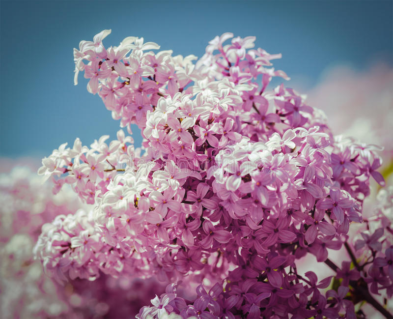 Lilac In Spring Stock Photo