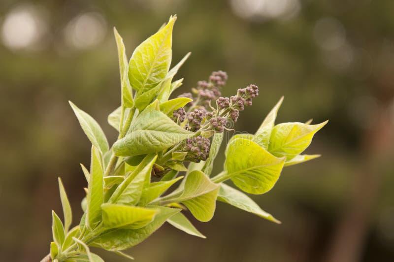 Download Lilac at springtime stock photo. Image of floral, leaf - 20134548