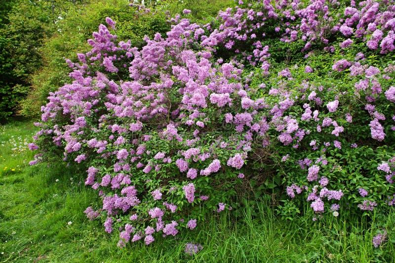 Lilac struik stock fotografie