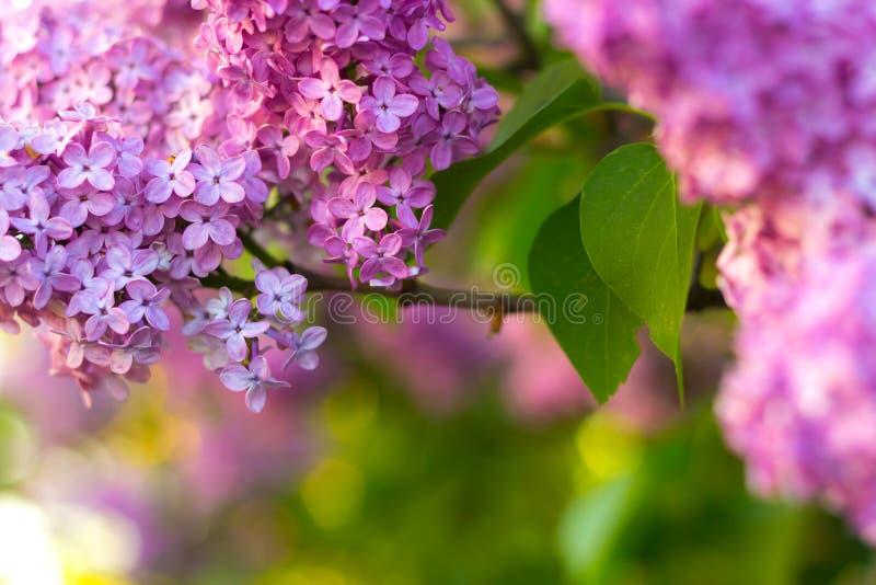 Lilac struik in bloesem royalty-vrije stock foto's