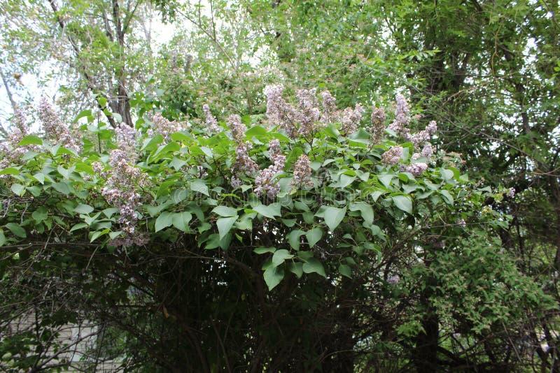Lilac struik royalty-vrije stock foto