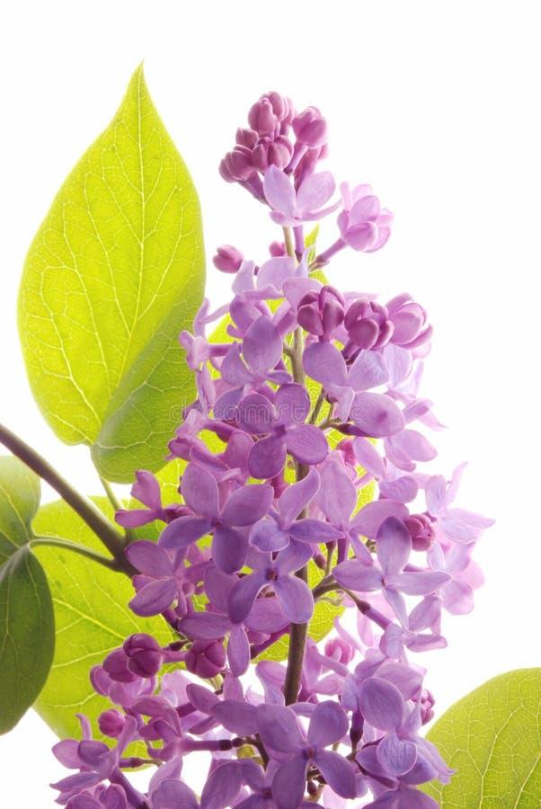 Lilac syringa royalty-vrije stock fotografie