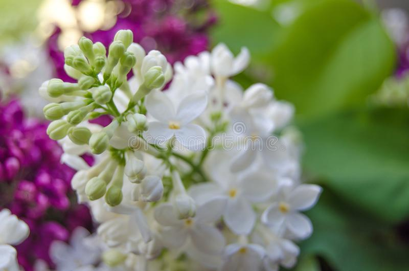 Lilac and syringa background. Spring blooming flowers detail. Naature photography royalty free stock images