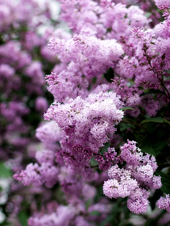 Lilac Syringa Bush. Lush Foliage Lilac Syringa Bush closeup Outdoors. Selective Focus royalty free stock images