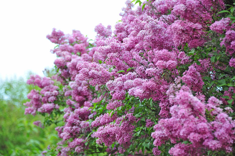Lilac (Syringa) flower. Bush of beautiful blooming Lilac (Syringa) flower royalty free stock photo