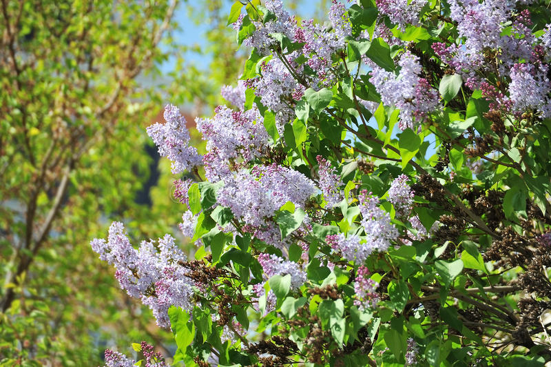 Lilac (Syringa). Flower over blue sky background royalty free stock photo