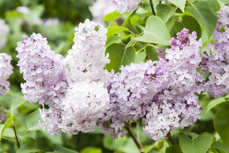 Lilac or Syringa vulgaris L. flowers royalty free stock images